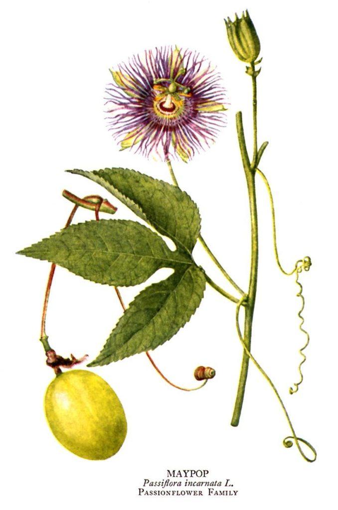 passiflora fior della passione