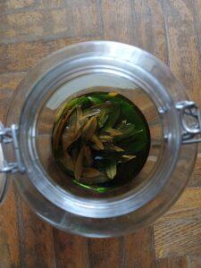 Macerazione di foglie di verbena in alcool