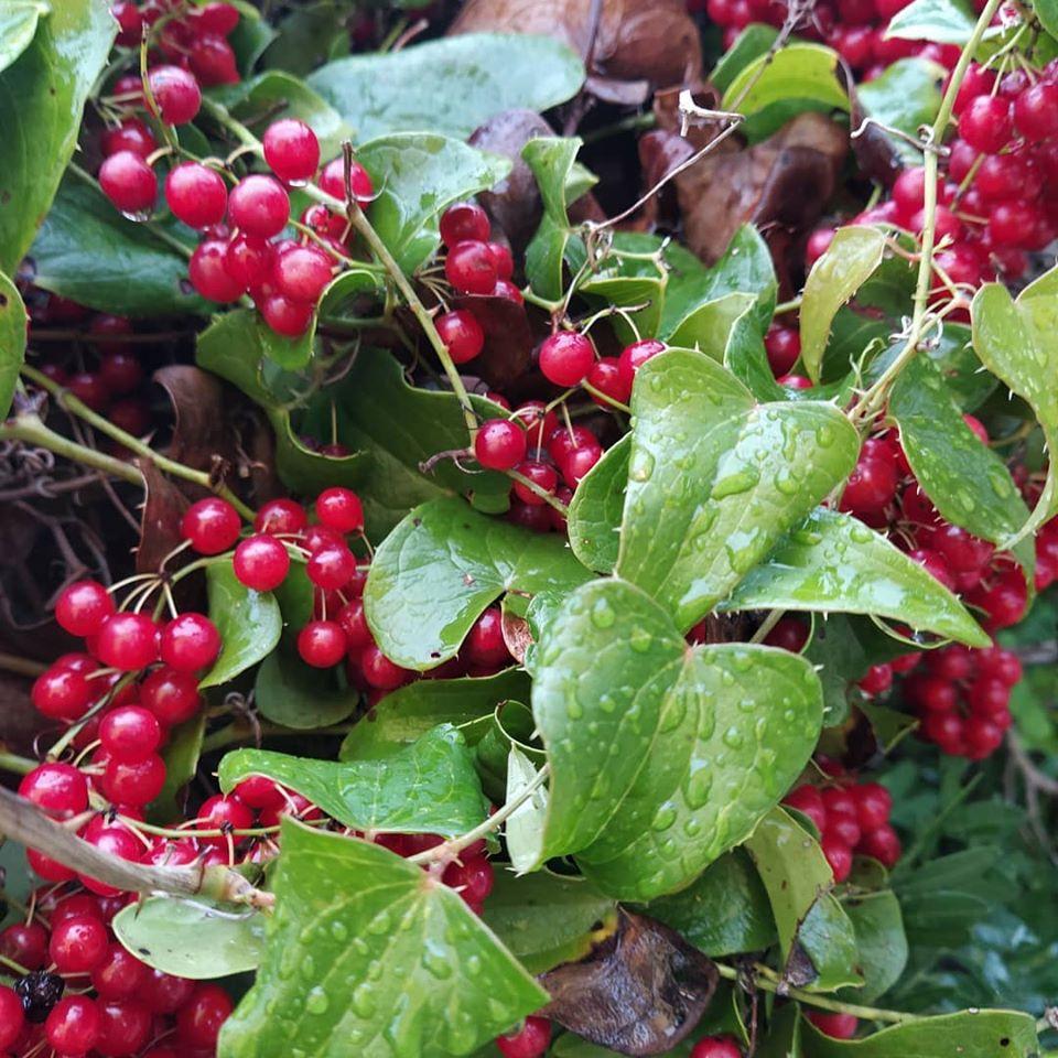 piante-officinali-salsapariglia
